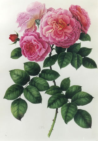 rose aloha watercolour by christine stephenson. Black Bedroom Furniture Sets. Home Design Ideas